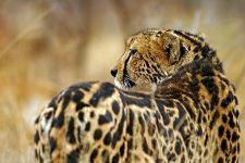 AVAB-Benny-Rebel-Fotoreise-Suedafrika-Koenigsgepard