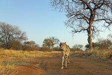 AVQ-Benny-Rebel-Fotoreise-Suedafrika-Gepard