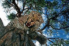 BA-Benny-Rebel-Fotoreise-Namibia-Leopard