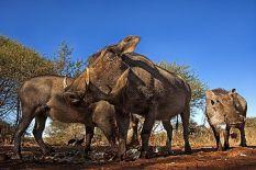 BA-Benny-Rebel-Fotoreise-Suedafrika-Warzenschwein