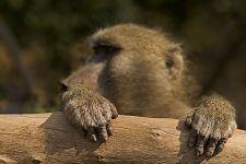 BBA-Benny-Rebel-Fotoreise-Suedafrika-Pavian