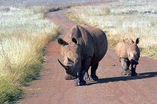 BE-Benny-Rebel-Fotoreise-Suedafrika-Breitmaul-Nashorn