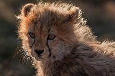 BEA-Benny-Rebel-Fotoreise-Suedafrika-Gepard