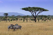 BEA-Benny-Rebel-Fotoreise-Tansania-Zebra