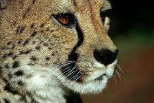 BFA-Benny-Rebel-Fotoreise-Namibia-Gepard