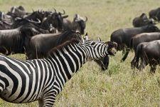 BG-Benny-Rebel-Fotoreise-Tansania-Zebra