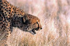 BM-Benny-Rebel-Fotoreise-Namibia-Gepard