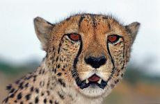 BQ-Benny-Rebel-Fotoreise-Namibia-Gepard