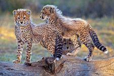 BU-Benny-Rebel-Fotoreise-Suedafrika-Gepard