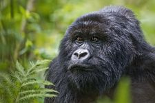 CAA-Benny-Rebel-Fotoreise-Berg-GorillaRuanda
