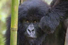CAF-Benny-Rebel-Fotoreise-Berg-GorillaRuanda