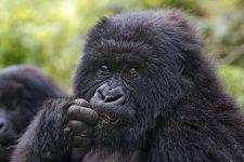 CAG-Benny-Rebel-Fotoreise-Berg-GorillaRuanda