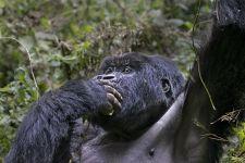 CAI-Benny-Rebel-Fotoreise-Berg-GorillaRuanda