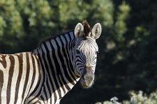 CAR-Benny-Rebel-Fotoreise-Suedafrika-Zebra
