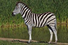 CAT-Benny-Rebel-Fotoreise-Suedafrika-Zebra