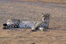 CB-Benny-Rebel-Fotoreise-Suedafrika-Gepard