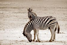 CBA-Benny-Rebel-Fotoreise-Namibia-Zebra
