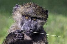 CC-Benny-Rebel-Fotoreise-Kenia-Pavian