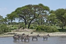 CC-Benny-Rebel-Fotoreise-Tansania-Zebra