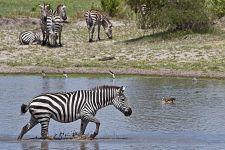 CE-Benny-Rebel-Fotoreise-Tansania-Zebra