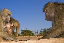 CEA-Benny-Rebel-Fotoreise-Suedafrika-Pavian