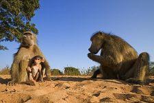CEC-Benny-Rebel-Fotoreise-Suedafrika-Pavian