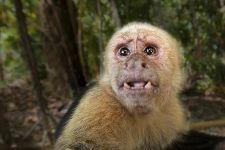 CEUS-Benny-Rebel-Fotoreise-Costa-Rica-Weiss-schulter-Kapuzineraffe