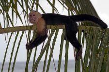 CFAA-Benny-Rebel-Fotoreise-Costa-Rica-Weiss-schulter-Kapuzineraffe