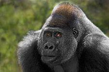 DAA-Benny-Rebel-Fotoreise-Gorilla
