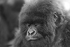 DAC-Benny-Rebel-Fotoreise-Berg-GorillaRuanda