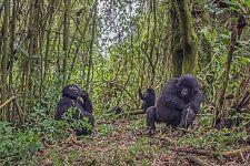 DAG-Benny-Rebel-Fotoreise-Berg-GorillaRuanda