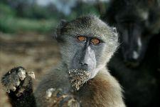 DBA-Benny-Rebel-Fotoreise-Suedafrika-Pavian