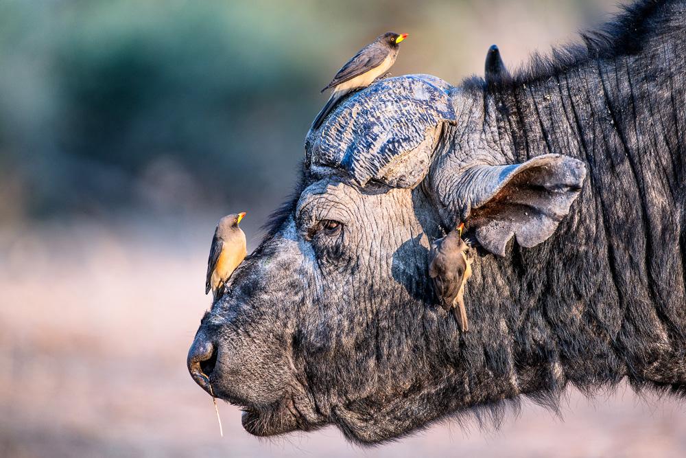 Botswana und Vic Falls (Simbabwe), Büffel