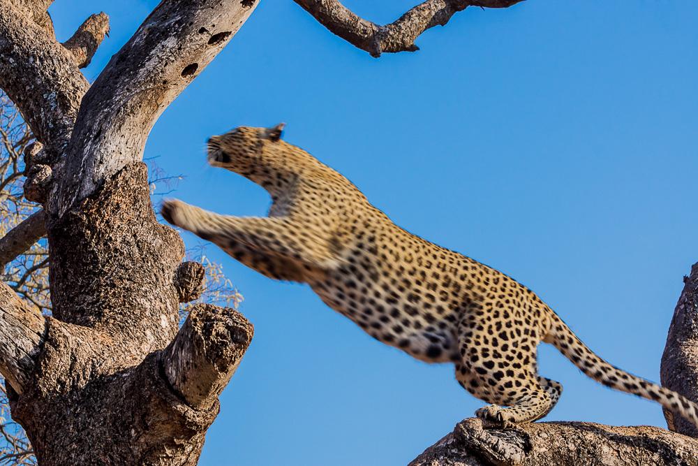 Nordkenia, Fotografie, tiere, Leoparden