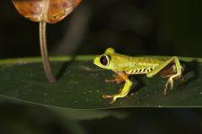 KE-Benny-Rebel-Fotoreise-Frosch-Costa-Rica
