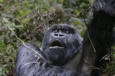 PAA-Benny-Rebel-Fotoreise-Berg-GorillaRuanda-1