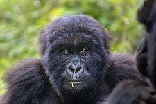 PAC-Benny-Rebel-Fotoreise-Berg-GorillaRuanda
