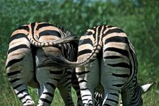 POA-Benny-Rebel-Fotoreise-Suedafrika-Zebra