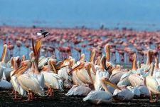 TKR-Benny-Rebel-Fotoreise-Kenia-Pelikan