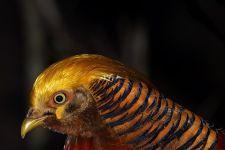 VAA-Benny-Rebel-Fotoworkshop-Vogelfotografie-Goldfasan