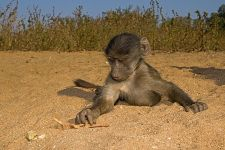VD-Benny-Rebel-Fotoreise-Suedafrika-Pavian