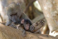 VH-Benny-Rebel-Fotoreise-Suedafrika-Pavian