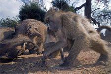 VI-Benny-Rebel-Fotoreise-Suedafrika-Pavian
