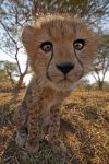 ZH-AC-Benny-Rebel-Fotoreise-Suedafrika-Gepard