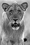 ZHAAA-Benny-Rebel-Fotoreise-Suedafrika-Loewe