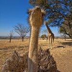 ZHAC-Benny-Rebel-Fotoreise-StraussAfrika-1