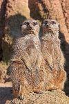 ZHAF-Benny-Rebel-Fotoreise-Afrika-Erdmaenchen