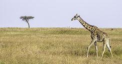ZP-AB-Benny-Rebel-Fotoreise-Kenia-Giraffe