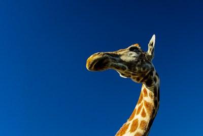 curious giraffe, Benny Rebel,