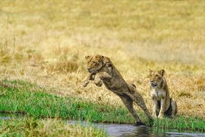 JUMPING LION 1 Benny Rebel, Fine Art Print, Löwe, Fotografie,
